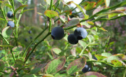 Blueberries are ready to be picked at the end of summer