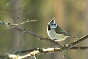 birdwatching Finland, birdwatching holidays