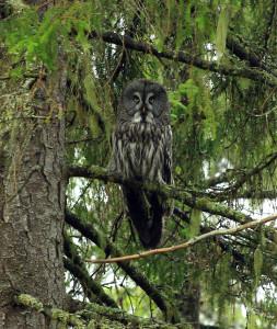 A worderful great grey owl