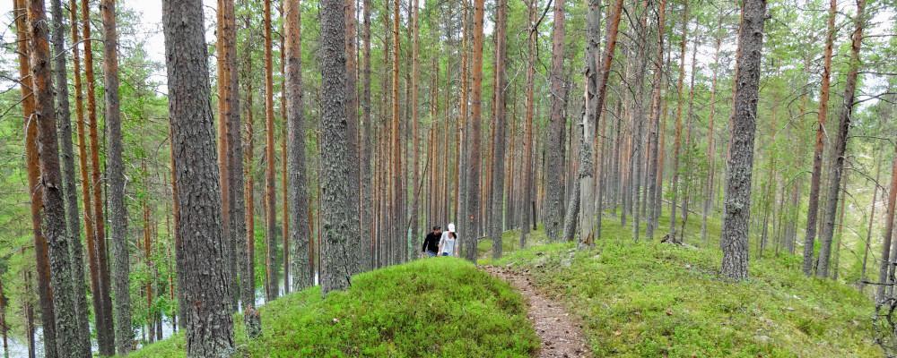 Taiga Forest Walk